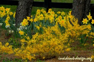 Dwarf forsythia and several different varieties of daffodil create a spring show.