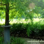 The sun beams in against the bald cypress. Just beyond the tree is a pond he built.