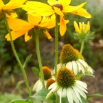 'White Swan' Coneflower mixed with 'Indian Summer' black eyed susans.
