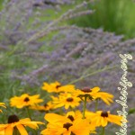'Indian Summer' black eyed susan in the forefront of whispy russian sage.