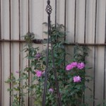 The thornless rose grows on a reclaimed trellis