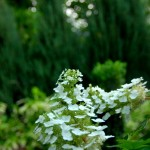 09-The reused oakleaf hydrangea got a new life and really comes to life in the foreground with columnar junipers in the background.