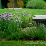 Alliums and lavender mix at the curve of the front door entry as the bench welcomes visitors.
