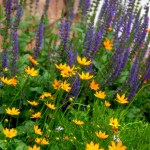 The owner planted these coreopsis and salvia, which inspired the yellow and purple design.
