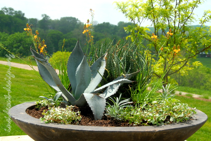 Container of agave, sedum, African bilbane and aloe provide a lot of texture and little care.