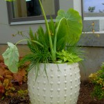 Ceramic container with giant elephant ear, african bugbane, asparagus fern and sweet potato vine